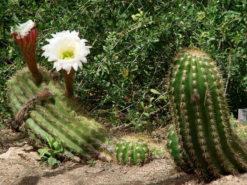 April 17, 2010 - (Boyce-Thompson Southwestern Arboretum State Park, Superior, Pinal County, Arizona) -- Cactus blossom