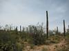 April 18, 2010 - (Saguaro National Park [West] / Tucson, Pima County, Arizona) -- Saguaro Cactus