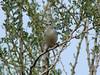 April 18, 2010 - (Saguaro National Park [West] / Tucson, Pima County, Arizona) -- Lucy's Warbler