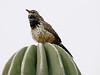 April 18, 2010 - (Arizona-Sonora Desert Museum / Tucson, Pima County, Arizona) -- Cactus Wren