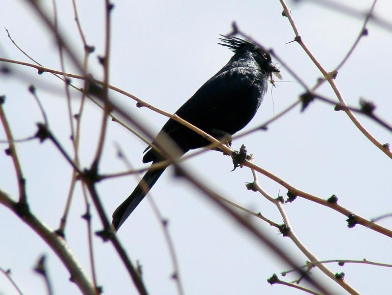 April 17, 2010 - (Boyce-Thompson Southwestern Arboretum State Park, Superior, Pinal County, Arizona) -- Phainopepla