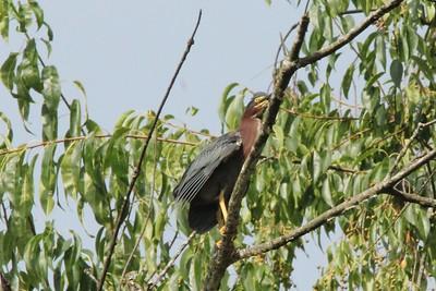 Green Heron @ Crystal Bridges Museum [Trails]