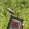 Scissor-tailed Flycatcher @ Charlie Craig State Fish Hatchery