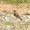 Lark Sparrow @ Charlie Craig State Fish Hatchery
