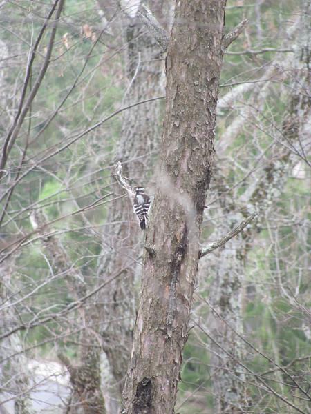 Little woodpecker - not a resident bird, just outside the center
