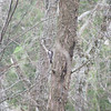 Little woodpecker - not a resident bird, just outside the center