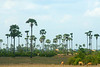 Coconut trees near Siem Reap.
