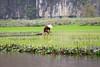 Rice paddies, Tam Coc.