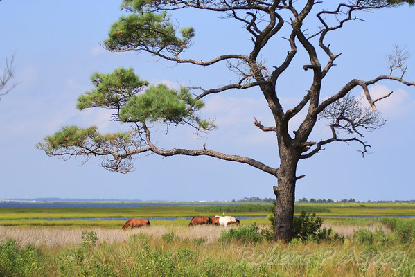 Assateague - August 2015