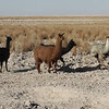 A significant component of the early life of the inhabitants of this area was the domestication of the Llama from the Huanaco.