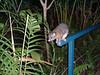 The hostels pet possum