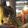 indiginous lizard
