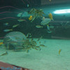 dugong  (manatee)