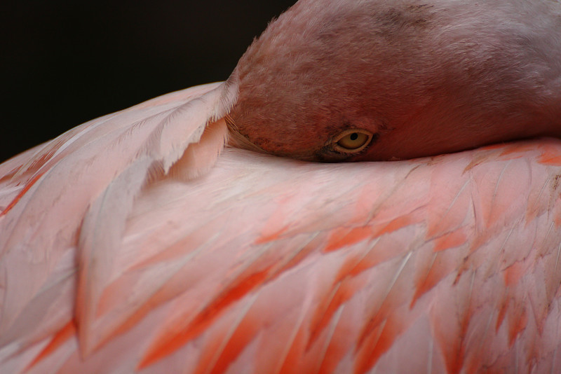 Flamingo at the Cape May County Zoo.  Canon XSi and Tamron 70-300 VC lens.