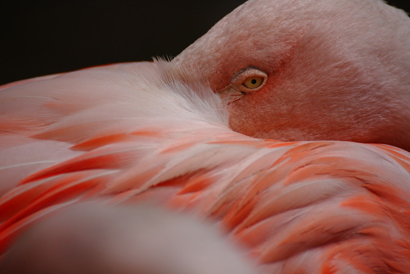 Flamingo at the Cape May County Zoo.