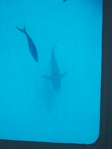 Dude.  Shark.