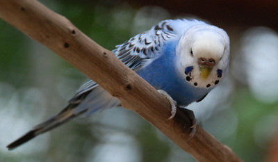 Parakeet. They let me go inside the cage to take pictures.