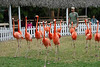 The flamingo show runs three times a day.