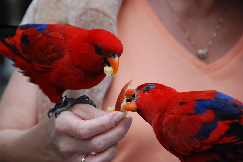 Feeding the parrots.