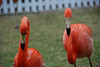 Marching flamingos