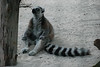 Lemur, just hanging out.