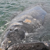 Mother and Calf Gray Whale wiith my head in the foreground