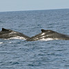 Pair of Humpback Whales at Punta Gorda