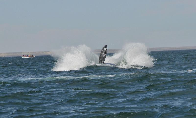 Gray Whale Breach in San Ignacio
