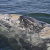 Adult Gray Whale...note all the Barnicles