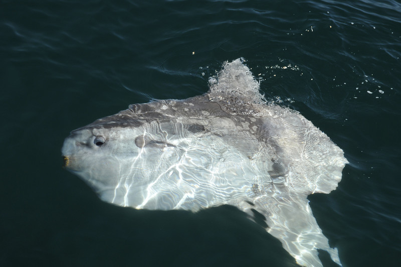 Mola Mola - Sun Fish that we saw coasting down the Pacific side of Baja