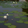 """Water lilies at <a href=""""http://en.wikipedia.org/wiki/Klungkung_Palace"""">Klungkung Palace</a>"""