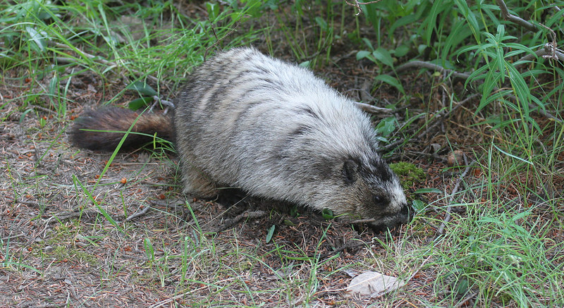 ...and ground hogs are Marmots