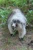 Hoary Marmot....Kenzie loved these guys...