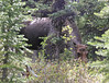 The only decent shot i could get (thru the trees and underbrush) of this moose we stumbled on in the woods around MOOSE POND.  Really!