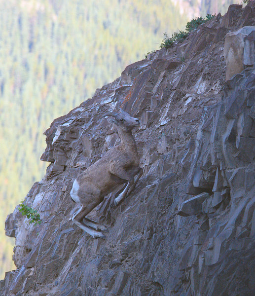 This Bighorn Sheep ran up this cliff like it was not even there....