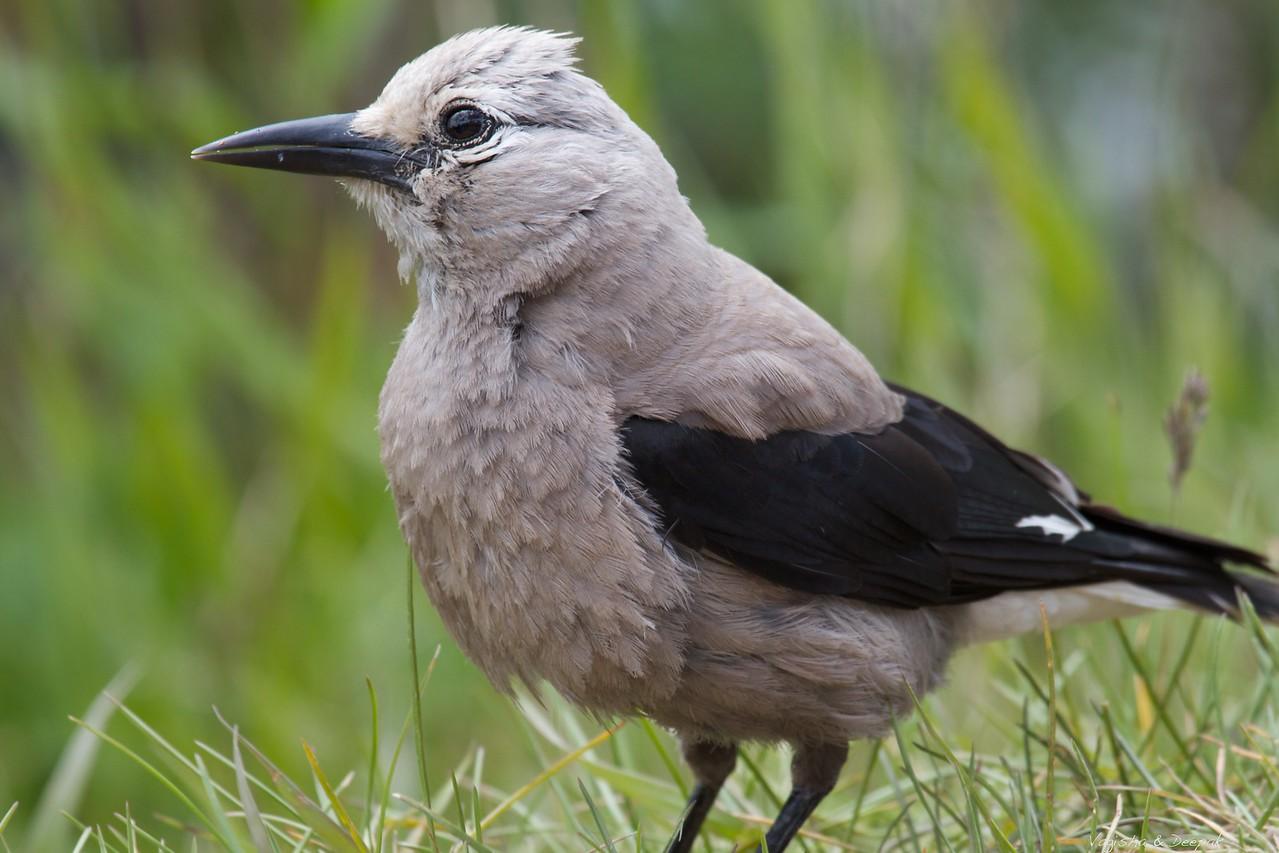 Grey Jay