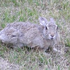 Rabbit next to our campsite in Golden, Colorado.  Night #2.