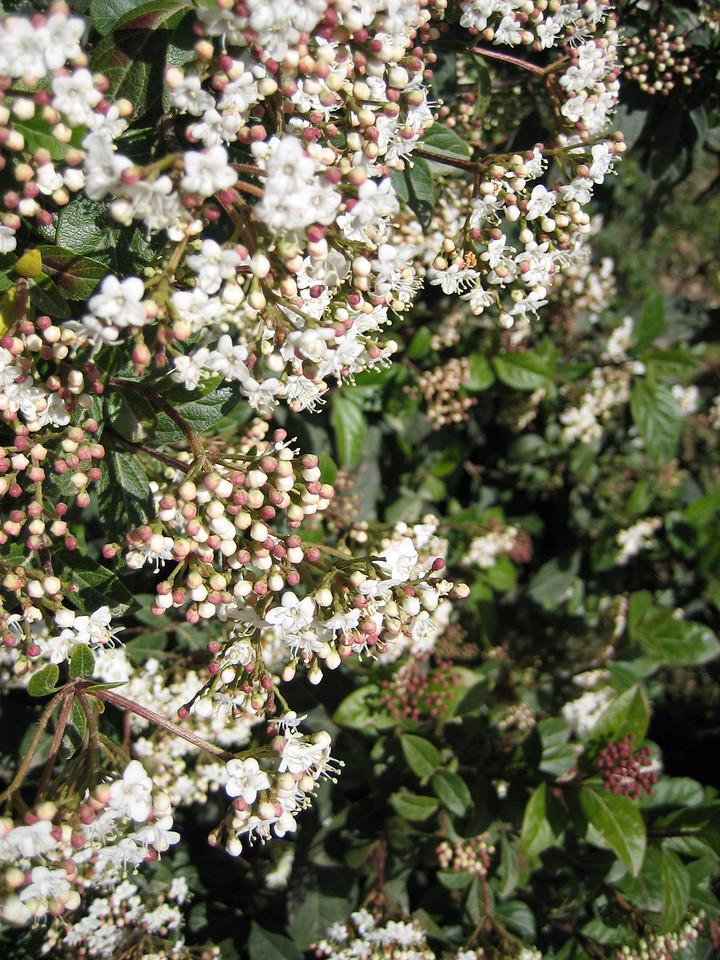 Jasmine (?) blooming