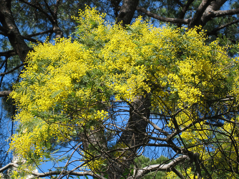 Mimosa in full bloom, Febuary is the time for it!