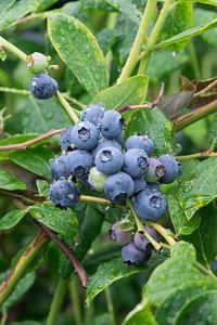 berries-070716-0071