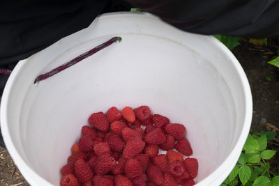 berries-070716-0077