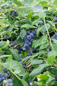 berries-070716-0070