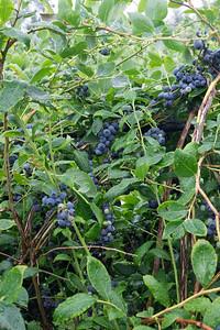 berries-070716-0069