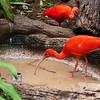 Scarlet Ibis: Bermuda Aquarium, Museum and Zoo