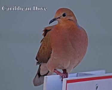 Birds Caribbean 2015 Spring