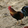 Red Junglefowl, or MOA