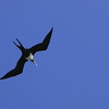 Great Frigatebird, or 'IWA