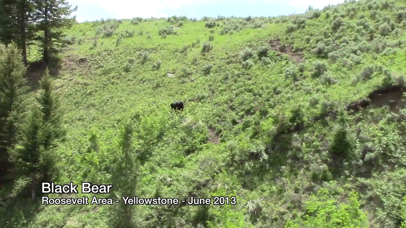 Black Bear - Roosevelt - June 2013
