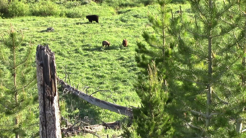 Black Bears - Near the Petrified Tree - June 2013