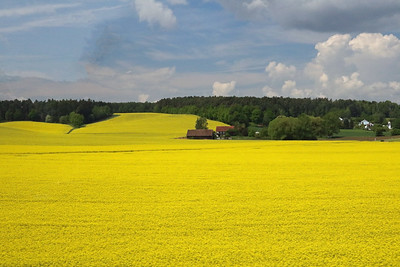 More bright rape seed fields north of Regensburg.